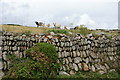 SW5926 : Cows above a stone wall by Bill Boaden