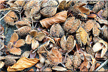 J3268 : Beech nuts, Minnowburn, Belfast (October 2014) by Albert Bridge