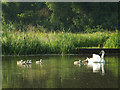 "SP2964 : ""If you want breakfast, get over here now!"" Swan and cygnets, Myton Pool, Warwick by Robin Stott"