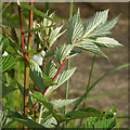 SP2964 : Foliage of Meadowsweet, Kingfisher Pool, Myton Fields, Warwick by Robin Stott