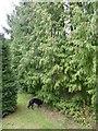 SK9716 : Cedar tree by Bob Harvey