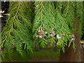 TF0627 : Cedar Cones by Bob Harvey