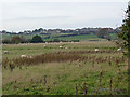 NZ1753 : Field of sheep at Harperley Hall Farm by Oliver Dixon