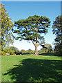 TQ0651 : Lebanon cedar, Hatchlands Park by Alan Hunt