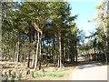 TL0037 : A road to more lodges, west side, Woburn Forest by Christine Johnstone