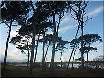 NT6378 : Coastal East Lothian : Pines Near Hedderwick Hill by Richard West