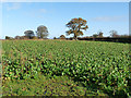 NY5058 : Field with root crop near Hayton by Oliver Dixon