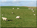 NY5253 : Sheep at Carrock Fell farm by Oliver Dixon