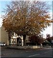 ST9063 : Dominant tree in Spa Road, Melksham by Jaggery