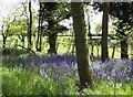 NU1822 : Woodland bluebells by David Chatterton