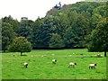 SO5163 : Sheep at Berrington Hall by nick macneill