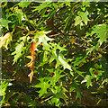 SP2080 : Foliage of Scarlet Oak, Quercus coccinea by Robin Stott