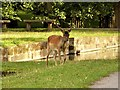 SJ7387 : Deer at Dunham Massey by David Dixon