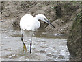 SP9012 : Little Egret fishing in steam at Wilstone Reservoir by Chris Reynolds
