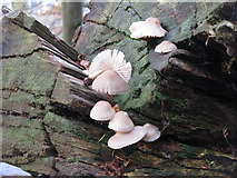 NT3337 : Toadstools on a fallen tree by M J Richardson
