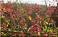 SX7974 : Spindle tree berries near Rora Wood by Derek Harper