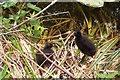 NU1922 : Young moorhens by David Chatterton