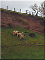 NY7912 : Sheep and sandstone outcrop, Belah Bridge by Karl and Ali