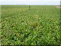 TL5398 : Crop of sugar beet on Cock Fen near Lakes End by Richard Humphrey