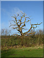 NY4974 : Dead tree beside the road near Troughfoot Farm by Oliver Dixon
