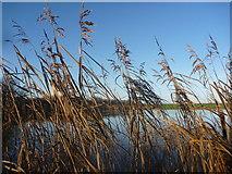 NT6578 : Coastal East Lothian : Reeds, Seafield Pond by Richard West