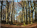 SU0769 : Beech trees, Knoll Down by Vieve Forward