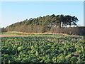NY9475 : A field of curly kale and Carter Plantation by Mike Quinn