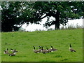 SJ9170 : Canada geese  south of Macclesfield, Cheshire by Roger  Kidd