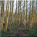 TQ8088 : Valerie Wells Wood (Cottage Plantation), Daws Heath by Roger Jones
