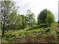 NU0724 : Birch wood, Hepburn by Richard Webb