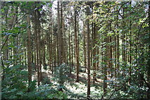 SE3257 : Conifers, Nidd Gorge by N Chadwick