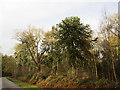 SK6273 : Chilean Pine, Clumber Park by Jonathan Thacker