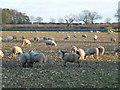 TF8620 : Sheep on Litcham Heath, Norfolk by Richard Humphrey