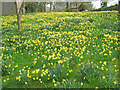 SO7241 : Daffodils at Old Colwall House by Trevor Rickard