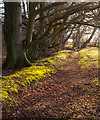 SU5922 : Beeches on Beacon Hill by Peter Facey