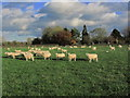 SJ8063 : Sheep grazing NW of Smethwick Green by Colin Park