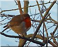 SK3899 : I know it's late for Christmas 2014 but here's a Robin redbreast by Steve  Fareham