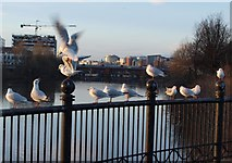 NS5964 : Gulls beside the River Clyde by Alec MacKinnon