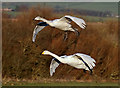 NY0565 : Whooper swans at Caerlaverock Wetland Centre by Walter Baxter