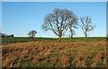NZ4230 : Trees on Embleton Moor by Trevor Littlewood