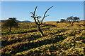 SE0091 : Scrubby trees on West Bolton Moor by Bill Boaden