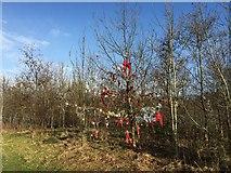 SJ8545 : Lyme Valley Park: 'Christmas' tree by Jonathan Hutchins