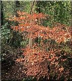 SX9065 : Beech leaves, Chapel Hill Pleasure Grounds by Derek Harper