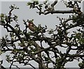 NZ0947 : While Chaffinch sings on the orchard bough by Robert Graham