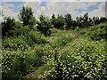 SX9066 : Umbellifers, Nightingale Park by Derek Harper