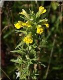 SX9066 : Yellow Bartsia, Nightingale Park by Derek Harper
