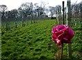 SK3083 : Whirlow Vineyard by Derek Henry