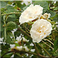 SP2965 : Alba-type shrub roses growing on the riverbank, rear of Mercia Way, Warwick by Robin Stott