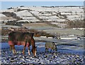 NH5358 : Horses in the snow, by Knockbain by Craig Wallace