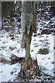NO1523 : Decaying tree by William Starkey